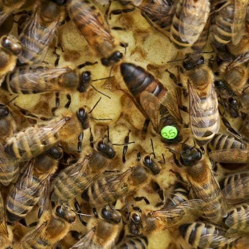 Včelí matky