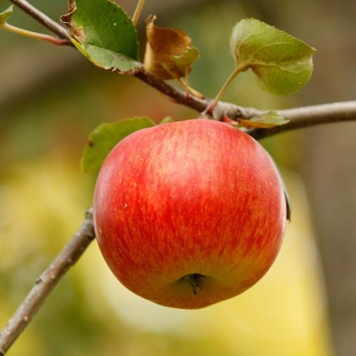 Jabloň Rubín