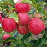 Jabloň Rubinola (M9)