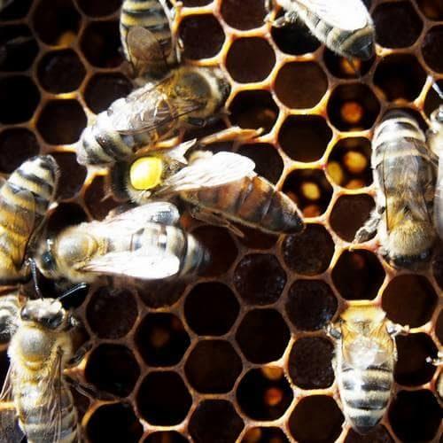 Prodej včelích matek
