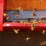 Včelstvo na rámkové míře 39×24, nástavek 11 rámků