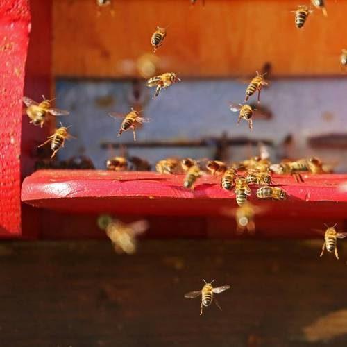 Včelstvo