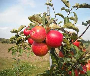 Jabloň Vltava