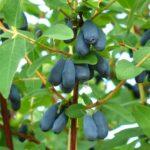 Kamčatská borůvka (zimolez) Blue King