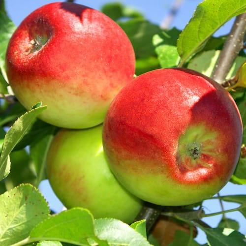 Sloupová jabloň Arbat