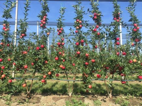 Jabloně v Bi-Baum systému