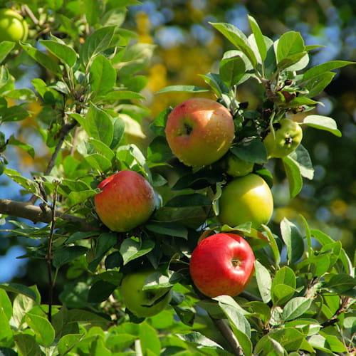 Jabloň Boskopské červené