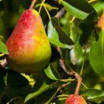 Sloupová hrušeň Dekora (podnož semenáč)