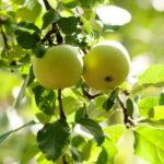Sloupová jabloň Goldlane (MM106)