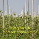 "Bílý stromkový rybíz ""Weisse aus Jüterbog"""