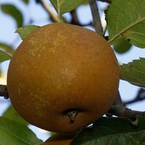 Jabloň Kožená reneta (Kožuch)