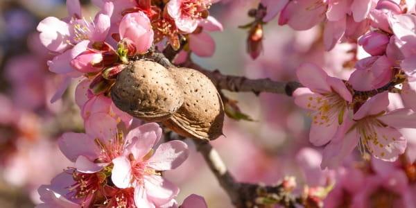 Kvetoucí strom meruňky