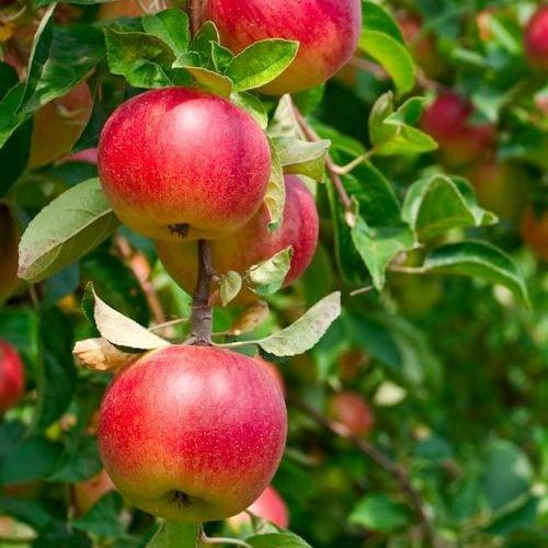 Jabloň Ligol (P60)