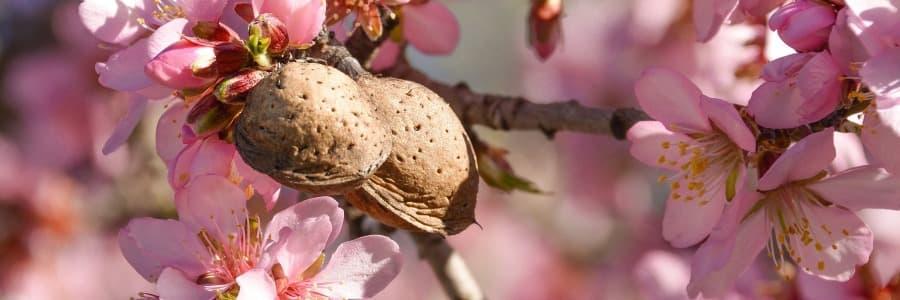 Ořešáky a mandloně
