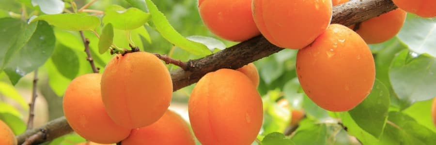 Meruňky, stromek meruňka