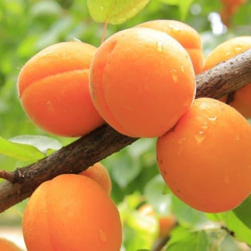 Stromek meruňka a její meruňky
