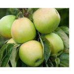 Sloupová jabloň Bolero (MM106)