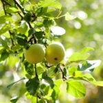 Jabloň Průsvitné letní (A2)
