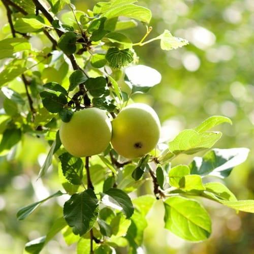 Jabloň Průsvitné letní