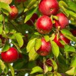 Sloupová jabloň Red River (MM106)