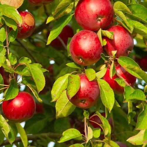 Sloupová jabloň Red River