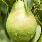 Sloupová hrušeň Saphira (podnož semenáč)