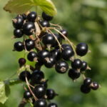 Černý stromkový rybíz Tisel (meruzalka)
