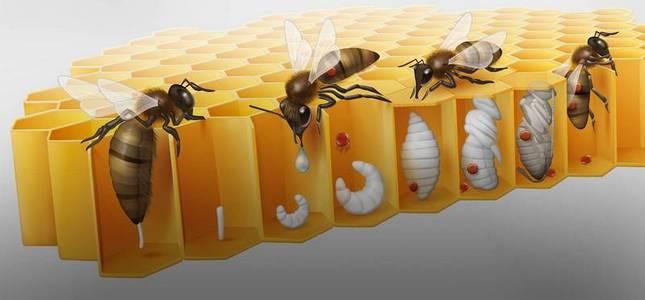 Šíření varroázy ve včelstvu