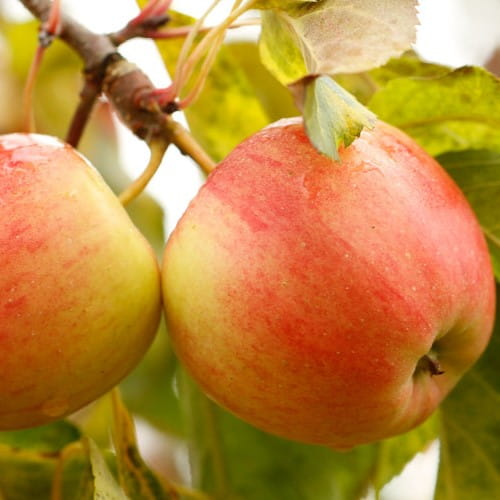 Sloupová jabloň Vesna